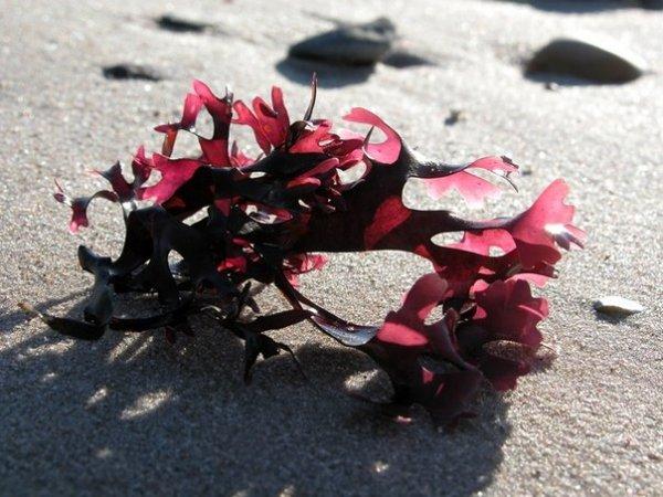 красные водоросли крондус криспус