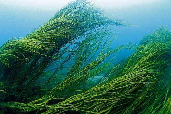синие водоросли спирулина