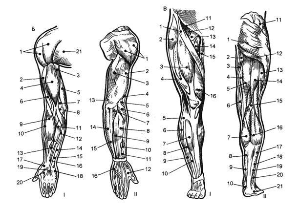 Точки для электростимуляции мышц