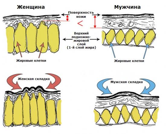 Особенности строения и расположения соединительнотканных перегородок и толщина кожи и жировой прослойки у мужчин и женщин