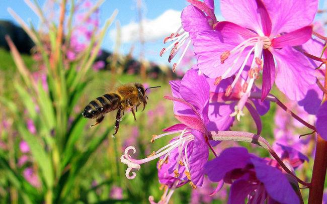 Мед кіпрейний корисні властивості і протипоказання. Мед зніту як відрізнити підробку