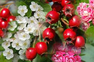 Зрелые плоды и цветки боярышника