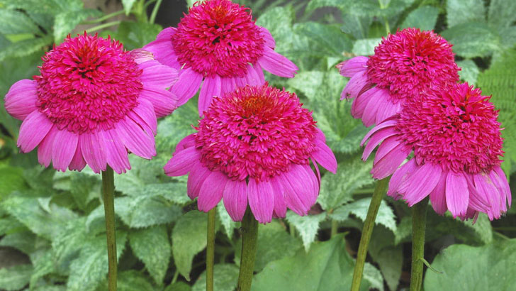 Цветки махровой эхинацеи