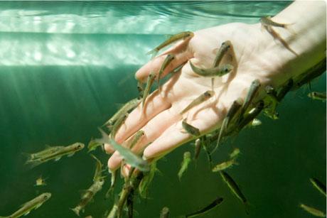 процедура пилинга рыбками