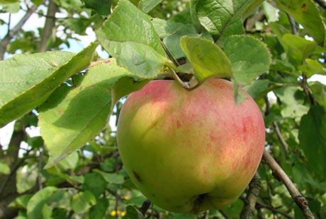 садовое яблоко