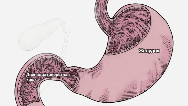 Анатомия желудка и двенадцатиперстной кишки